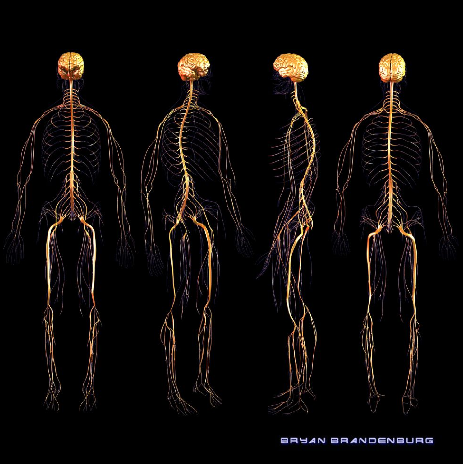 Nerves of the Nervous System